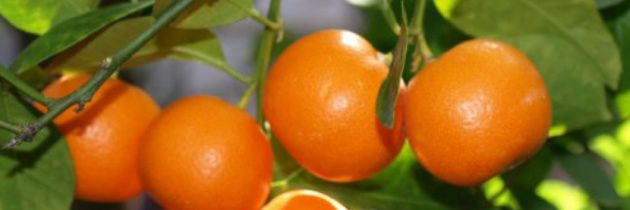 Orange 5 Fold Essential Oil