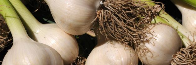 GARLIC ( Allium sativum)